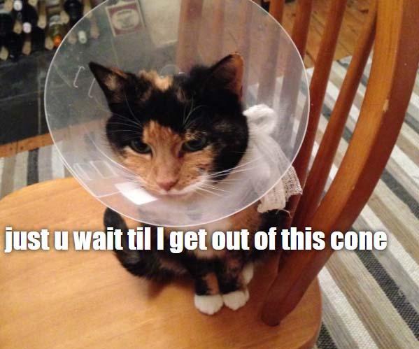 cone cat-meme
