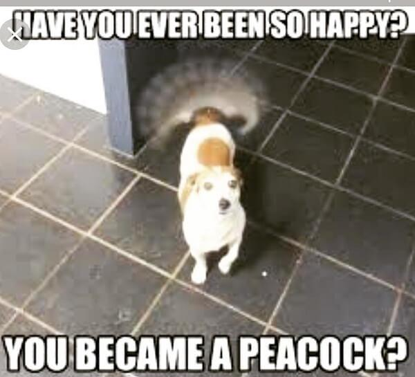 cute dog meme peacock
