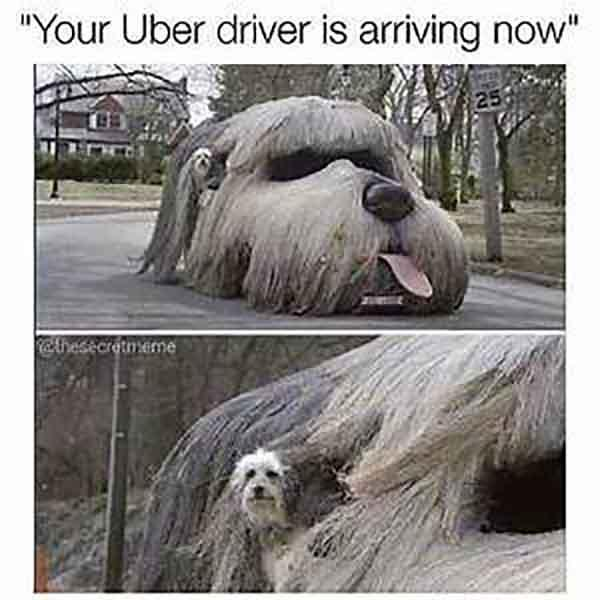 hilarious-animal-memes-that-are-way-too-real-if-you-are-an-uber-user