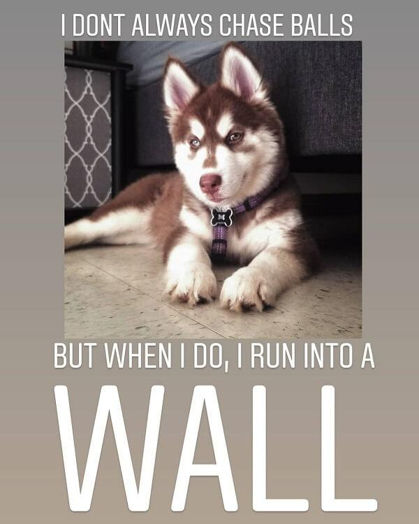 pet memes i dont always chase balls but when i do i run into a wall