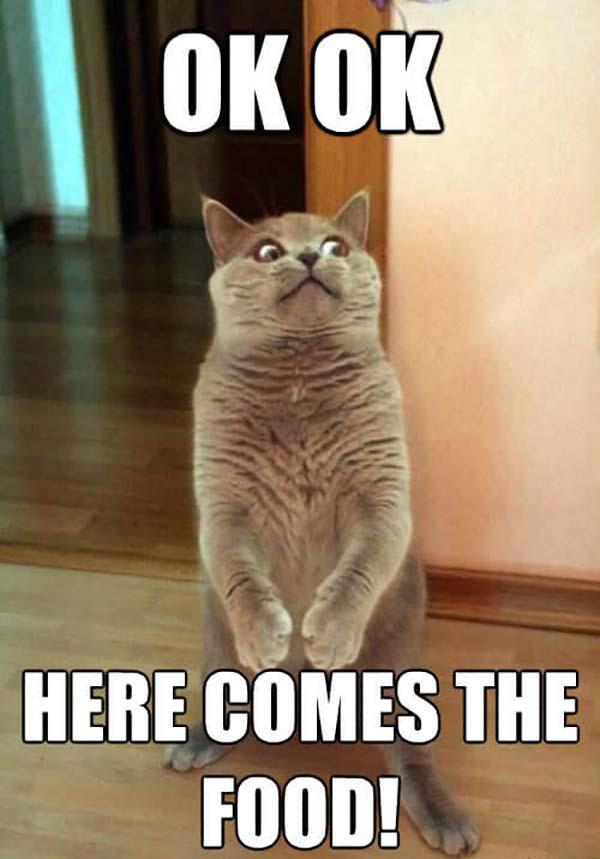 OK-OK-Here-comes-the-food funny ok meme cat
