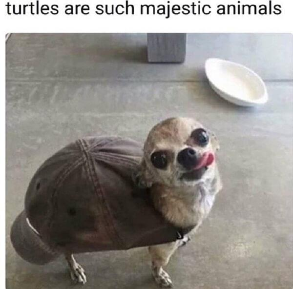 dog memes clean turtles are such majestic animals