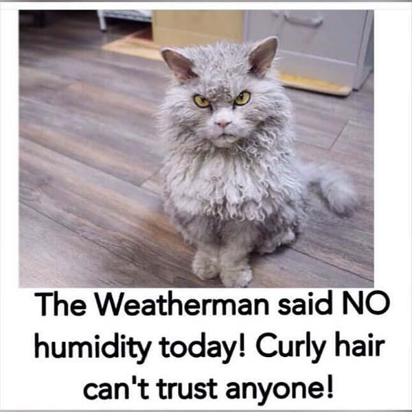 Curly hair angry cat meme