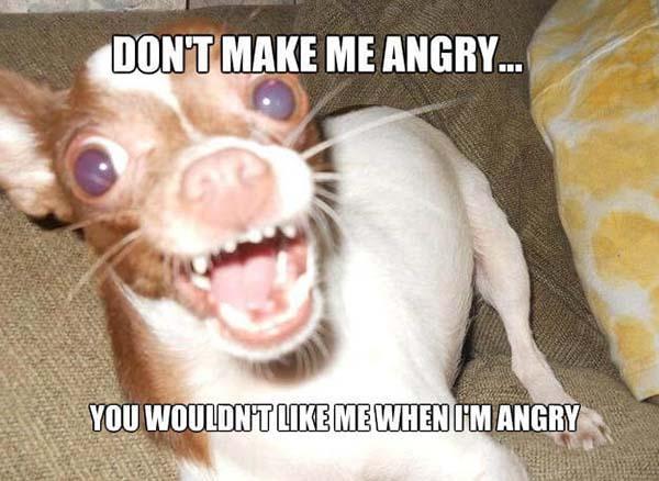 angry chihuahua meme
