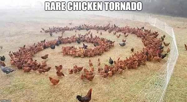 rare chicken meme